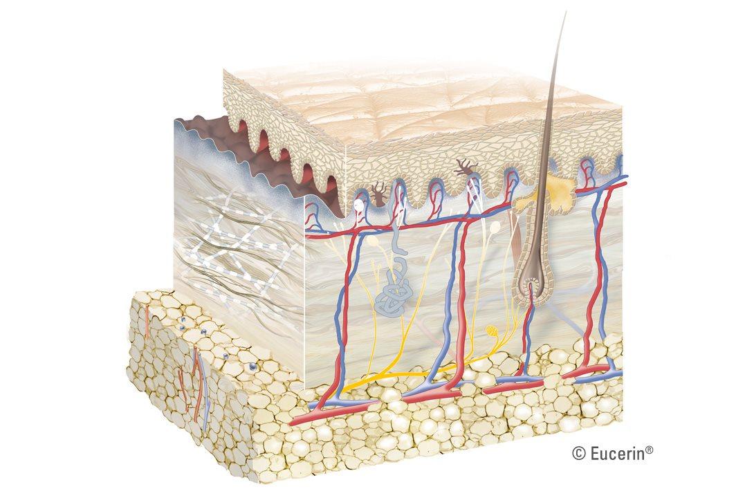 EUCERIN-INT-Skin-structure-01.jpg?h=720&w=1090&la=es-CO&hash=0256DEA94F353AA4F9F72BCBBF6CFF55CDFD3E1E